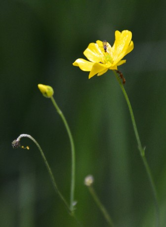 The lovely buttercups have many lovers...