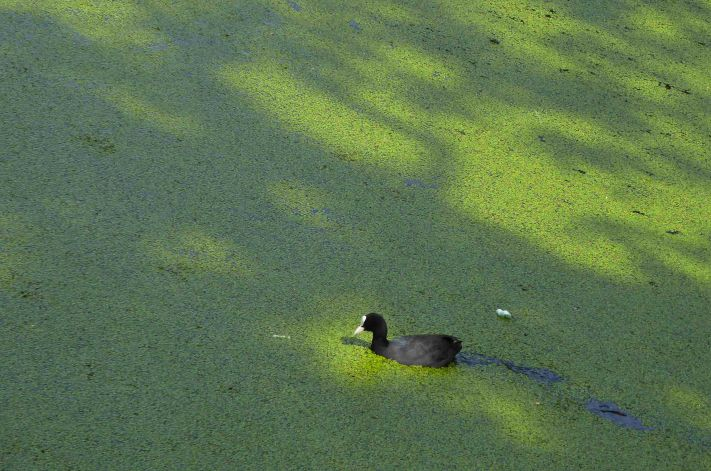 Coot in Green