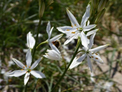 Anthericum liliago (St Bernard's lily)