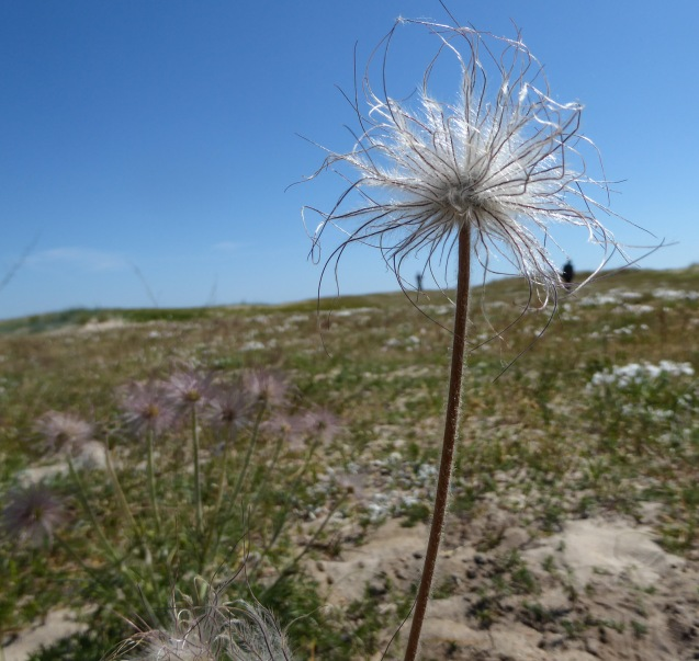 A pasque flower overlooking the dunes - and the group members...