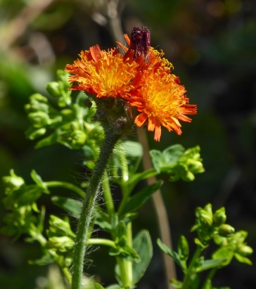 fox-and-cubs, orange hawk bit, devil's paintbrush, grim-the-collier