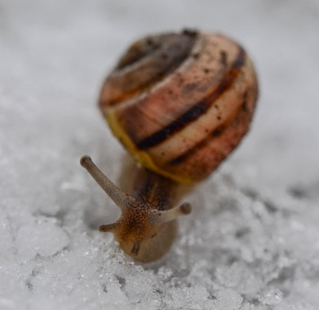 Macro snigel i snö 051-3