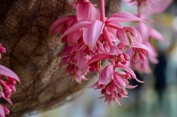 Medinilla - another of my favorite flowers