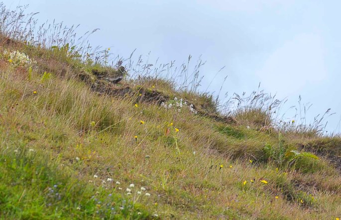 Can you find the golden plover?