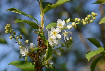 Bird-cherry trees are favorites with me - oh, that lovely scent!