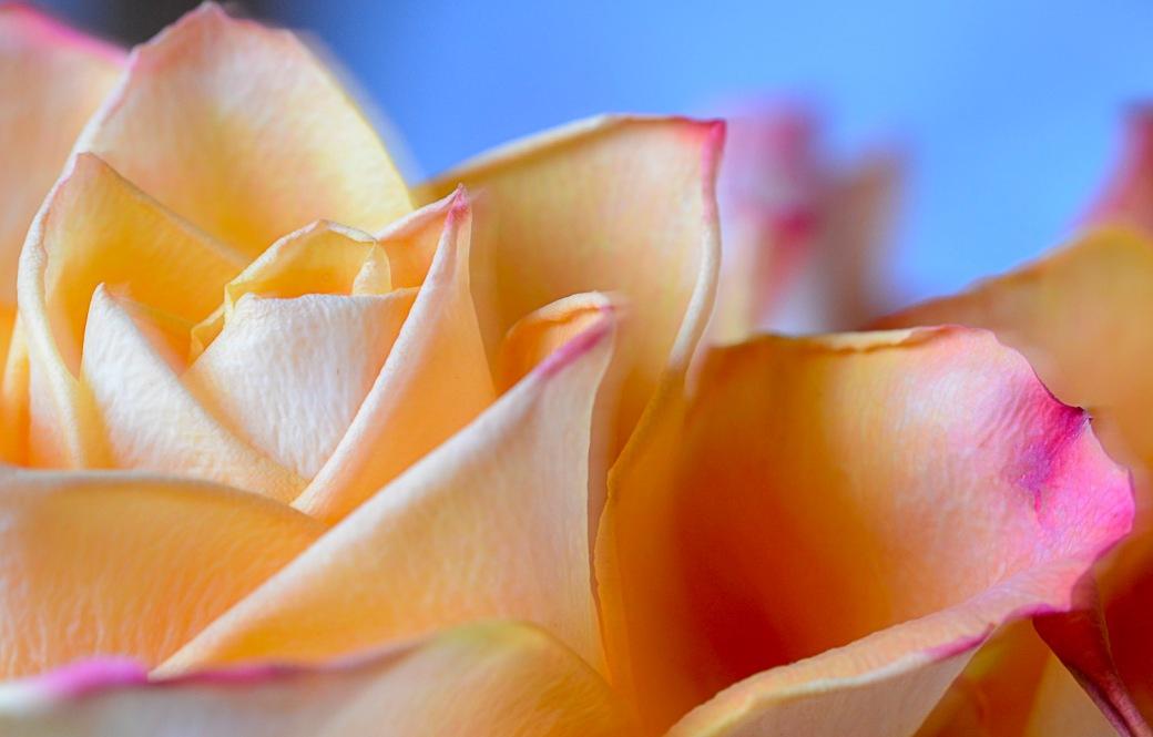 Macro påfågel och rosor 019-Redigera
