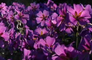 Trädgården i Juni 046-2