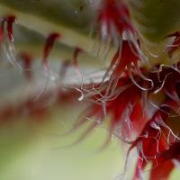 Macro Monday - Begonia Manicata
