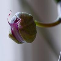 Macro Monday - Phalaenopsis Breaking Free